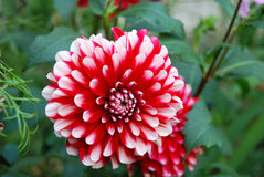 Beautiful dahlia flower Stock Photography