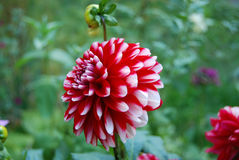 Beautiful dahlia flower Stock Image