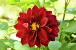 Beautiful Dahlia Flower in the Garden