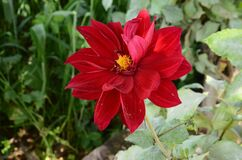 Beautiful Dahlia Flower in the Garden