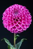 Beautiful red dahlia stock images