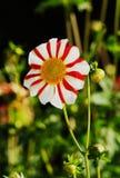 Beautiful Dahlia Flower Stock Photo