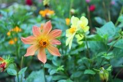 Beautiful dahlia flowers Stock Images