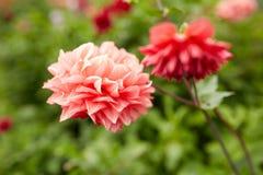 Beautiful dahlia flowers at summer garden Stock Photos