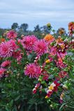 Beautiful dahlia garden and blue sky royalty free stock image