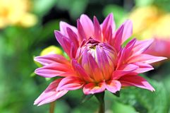Beautiful dahlia Royalty Free Stock Photo