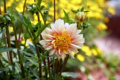 Beautiful Dahlia polka haze in summer garden park stock photo