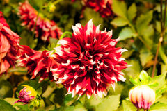 Beautiful Dahlia rosea flower with light from lamp in night Stock Photography