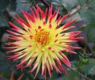 Beautiful Dahlia star. Stock Image