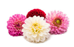 Beautiful dahlia Stock Images
