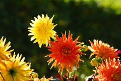 Beautiful Dahlias Royalty Free Stock Photos