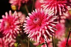 Beautiful Dahlias Stock Image
