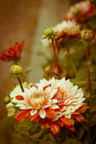 Beautiful dahlias Stock Photo