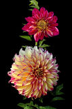 Beautiful Dahlias Stock Photos