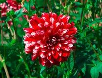 Beautiful Dahlias. The Beautiful Dahliahs in the garden Stock Photography