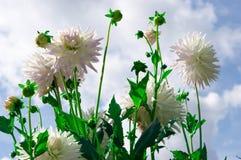 Beautiful Dahlias. The Beautiful Dahliahs in the garden Stock Image