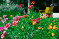 Beautiful Dahlias. The Beautiful Dahliahs in the garden Stock Images