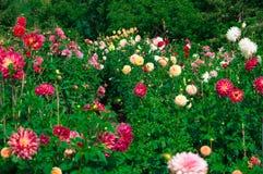 Beautiful Dahlias. The Beautiful Dahliahs in the garden Royalty Free Stock Image