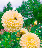 Beautiful Dahlias. The Beautiful Dahliahs in the garden Royalty Free Stock Photography