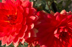 Beautiful Dahlias Royalty Free Stock Images