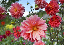 Beautiful dahlias with drops of dew on the petals. And flying bee stock photo