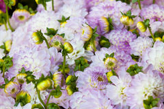 Beautiful dahlias flowers close up background Royalty Free Stock Photography