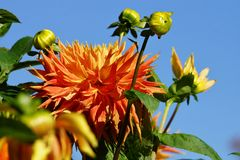 Beautiful Dahlias Royalty Free Stock Photography