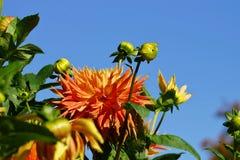 Beautiful Dahlias Stock Images