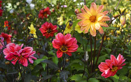 Beautiful dahlias in the morning dew Stock Images