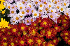 Beautiful Daisies Royalty Free Stock Images