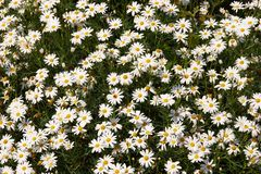 Beautiful daisies Royalty Free Stock Photo