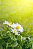 Beautiful daisies. Stock Images