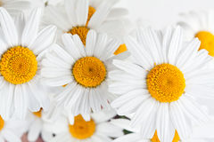 Beautiful daisies Stock Photos