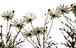 Beautiful daisies. Against white background stock photos