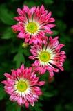 Beautiful Daisies. Three beautiful pink daisies with dark background stock photo