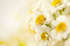 Beautiful daisies background Royalty Free Stock Photo