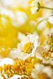 Beautiful daisies background Royalty Free Stock Image