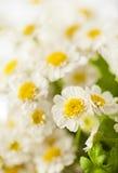 Beautiful daisies background Stock Photo