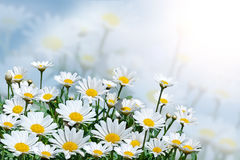 Beautiful daisies on a background of blue sky.Field with blooming flowers on a Sunny day.Summer background. stock photos