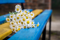 Beautiful daisies on the bench Royalty Free Stock Photos