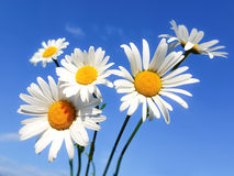 Beautiful daisies on a blue sky background Stock Image