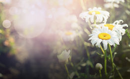 Beautiful daisies on blurred garden or park nature background Stock Photos
