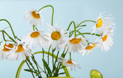 Beautiful daisies bouquet in green watering can Royalty Free Stock Photos