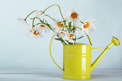 Beautiful daisies bouquet in green watering can Stock Image