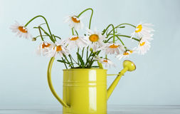 Beautiful daisies bouquet in green watering can Stock Photos