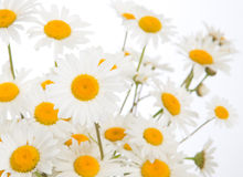 Beautiful daisies camomile flowers Royalty Free Stock Photography