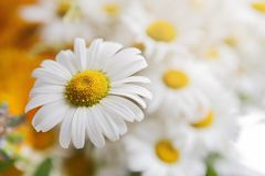Free Beautiful Daisies Closeup. Flower Background. Royalty Free Stock Photography - 109402507