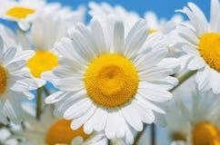 Beautiful Daisies Royalty Free Stock Image