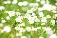 Beautiful daisies in the field Stock Image