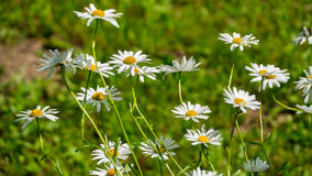 Beautiful daisies on the field Royalty Free Stock Images